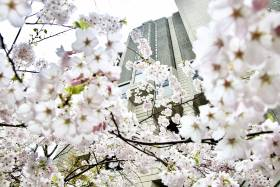 Robarts Library is framed by clusters of delicate spring cherry blossoms.