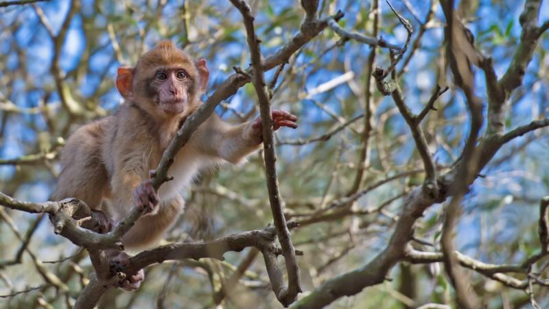 A Barbary macaque monkey grabs branches in a leafless treetop.