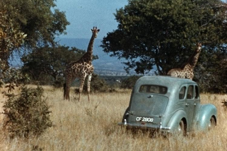 Innis Dagg 's rickety car, Camelo, amid the South African giraffes in 1956 (photo by Alexander Matthew)