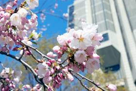 A close-up shot of delicate cherry blossoms with U of T's Robarts Library in the background.