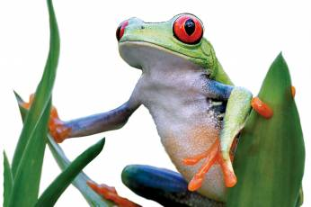 Central American Tree Frog