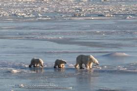 Two polar bear cubs follow their mother across melting ice awash with water.