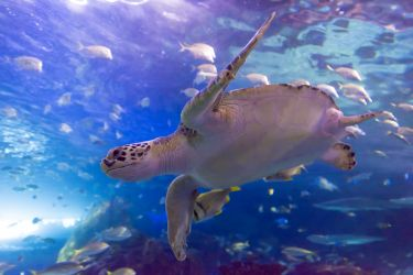 Turtle at Ripley's Aquarium