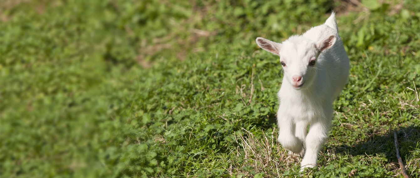 Baby goat running happily in grass